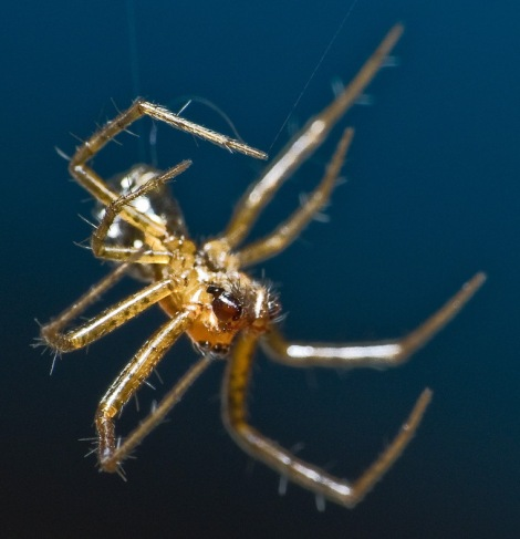 Spiders like this one are ballooning up and raining down on southeastern Australia. Photograph by Robert Whyte, courtesy Flickr. CC BY-NC-ND 2.0