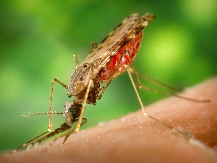 Mosquitoes are probably the best-known of the hematophages—animals that consume blood. Learn more about hematophages with our gruesome gallery of bloodsuckers. Photograph by James Gathany, courtesy the Centers for Disease Control and Prevention