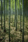 Bamboo is the world's largest species of grass—which I suppose makes this tranquil forest in Nanjing, Jiangsu, China, a beautifully manicured lawn. Bamboo's sturdy, fibrous texture leads many organizations to consider it a forestry product, however—a tree. Photograph by Luis Marden, National Geographic