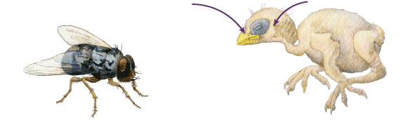 """An invasive species, a type of fly, """"lays its eggs in mangrove finch nests. At night the rice-size larvae attack hatchlings through their ear and nasal cavities. The larvae then feast on the chick's blood and flesh, causing the bird's deformation and usually death."""" Illustration by Emily M. Eng, National Geographic"""