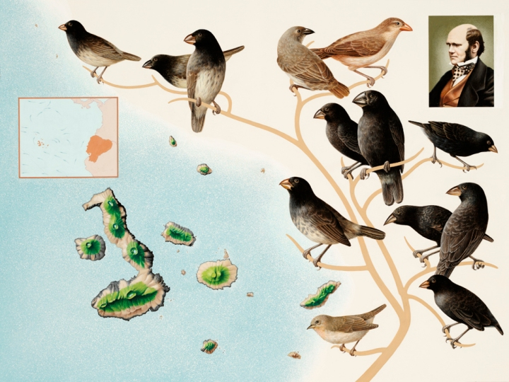 The birds Darwin collected in the Galapagos inspired him and later scientists to develop the evolutionary principle of natural selection—the idea that animals evolve particular traits to suit their lifestyles. Illustration courtesy National Geographic