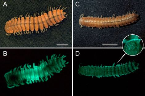 These images show two species of bioluminescent millipedes: M. sequoiae (A and B) and M. bistipita (C and D). Photograph courtesy Paul Marek, Virginia Tech, and the Proceedings of the National Academy of Sciences