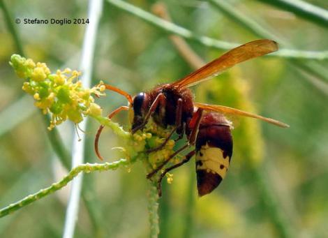 Oriental hornet, Vespa orientalis