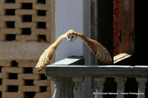 Barn owl in Egypt. Photo by Ahmed Waheed (CC BY-NC-3.0). Submitted to the Great Nature Project.