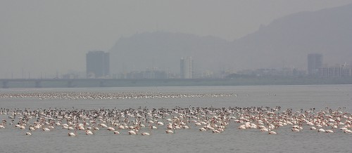 Flamingoes, Airoli Creek, Mumbai