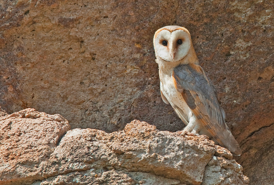Barn Owl In Greece Photo By Paul Cools CC BY NC 30