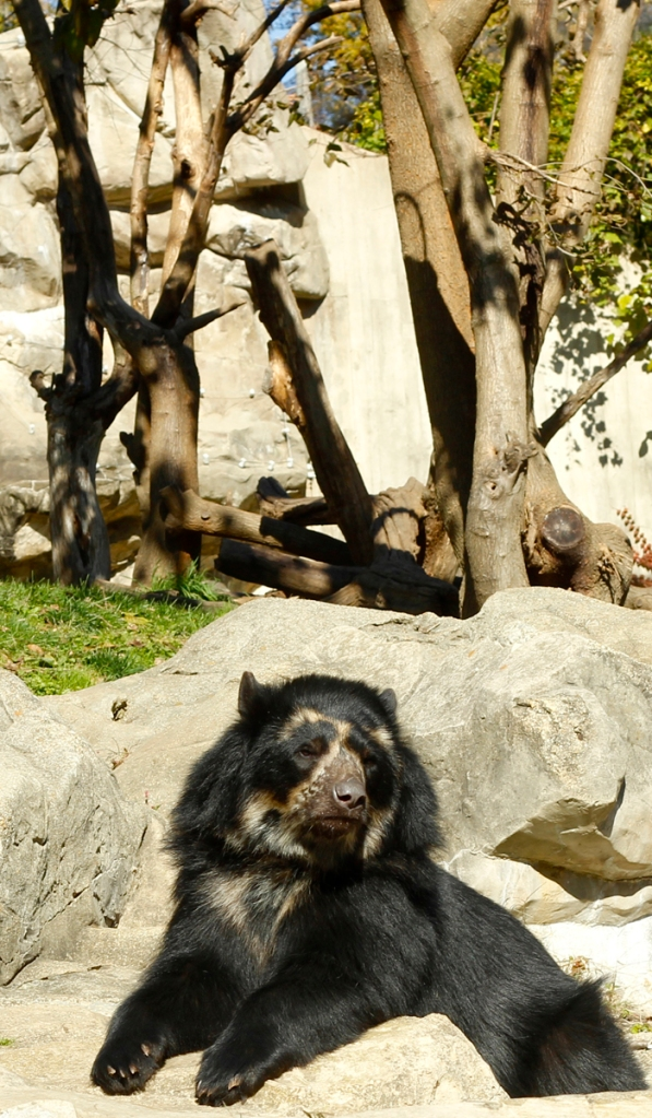 """Each individual Andean bear has its own distinctive set or """"fingerprint"""" of distinct cream or whitish markings on its head, throat and chest. Photograph by Johnna Flahive"""