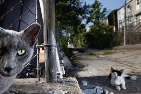 Feral cats, like these in Baltimore, are considered a pest species in Australia. Photograph by Vincent J. Musti, National Geographic