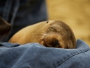 Fur Seal Sleeping