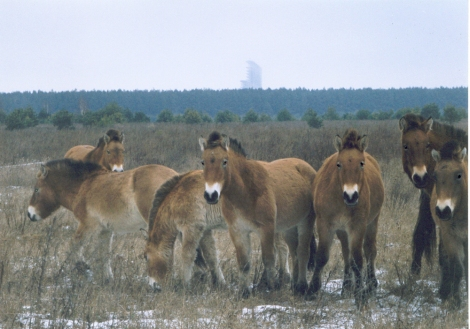 Przewalski's horses, an endangered species, were introduced to Chernobyl's exclusion zone in 1998 to help restore biodiversity in the area. Photograph by Xopc, courtesy Wikimedia. CC-BY-SA-2.5.