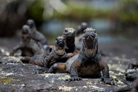 Iguana Leader