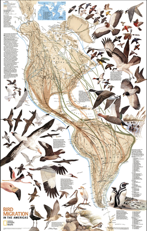 Use eBird's collection of migration maps to track some of the birds in our beautiful high-res map—try Swainson's hawk or the bobolink. Map by National Geographic