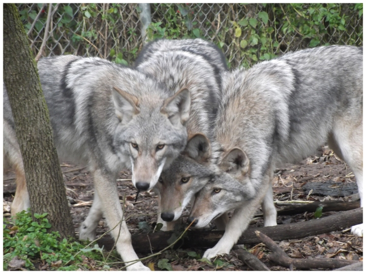 These coywolf littermates are hybrids of male western gray wolves (Canis lupus) and female western coyotes (Canis latrans). Photograph courtesy L. David Mech , Bruce W. Christensen, Cheryl S. Asa, Margaret Callahan, Julie K. Young, PLoS One