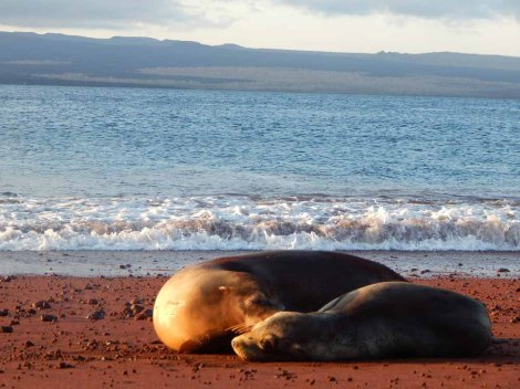 Sea lions, like these on Rábida Island, are omnipresent in the Galápagos. Patience and quiet are the keys to wildlife observation. Photograph by Janet Shedd.