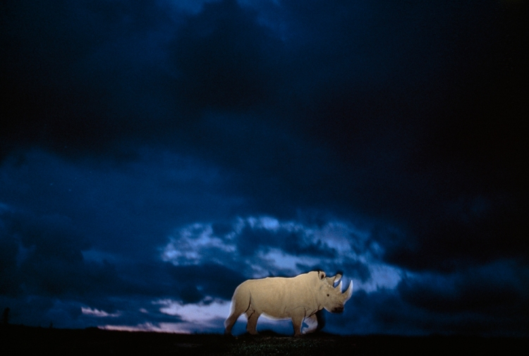The San Diego Zoo Safari Park was home to two white rhinos: Angalifu and Nola. (I'm not sure which one is depicted here.) Angalifu died in 2014, and Nola died on November 22. Only three northern white rhinos remain. Photograph by Michael Nichols, National Geographic