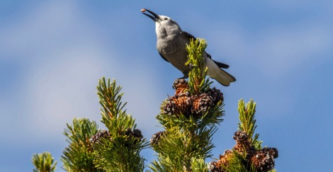 A Clark's nutcracker perches with a precious seed atop a whitebark pine tree along the Beartooth Highway in Wyoming. Photograph by Peter Essick, National Geographic
