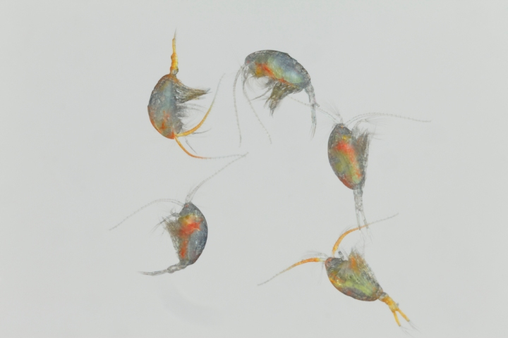 copepods collected from Kiel fjord in front of Liebniz Intitute of Marine Science, Scientific Name: Temora longicornis, Magnification: 5x