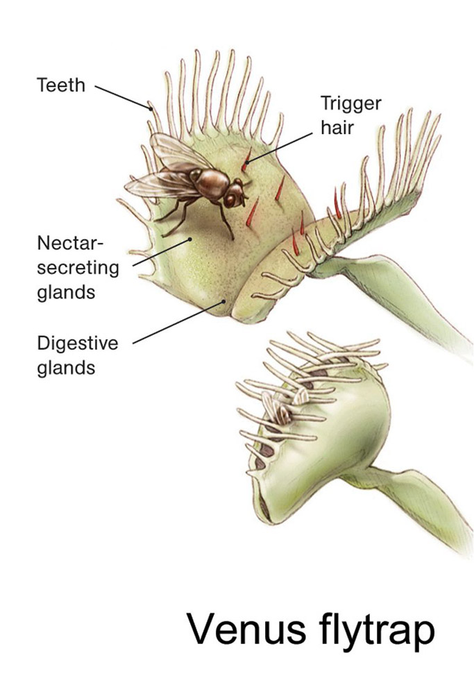 """Venus flytraps use """"teeth,"""" triggers, and toxic juices to catch prey. Illustration by Jenny Wang, National Geographic"""