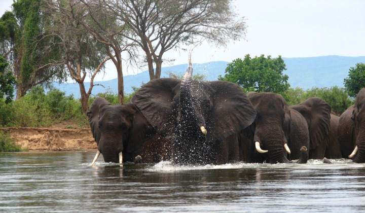 These lovely Loxodontas are as carbon-neutral (plants in, poop out) as the park in which they're found, Lower Zambezi National Park, Zambia. Photograph by Hanay, courtesy Wikimedia. CC-BY-3.0