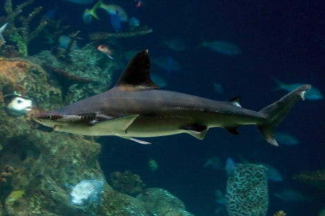 This gorgeous blacktip was photographed at the Greensboro Science Center. Learn more about these Carolina natives here. Photograph by Valerie, courtesy Flickr. CC-BY-NC-ND-2.0