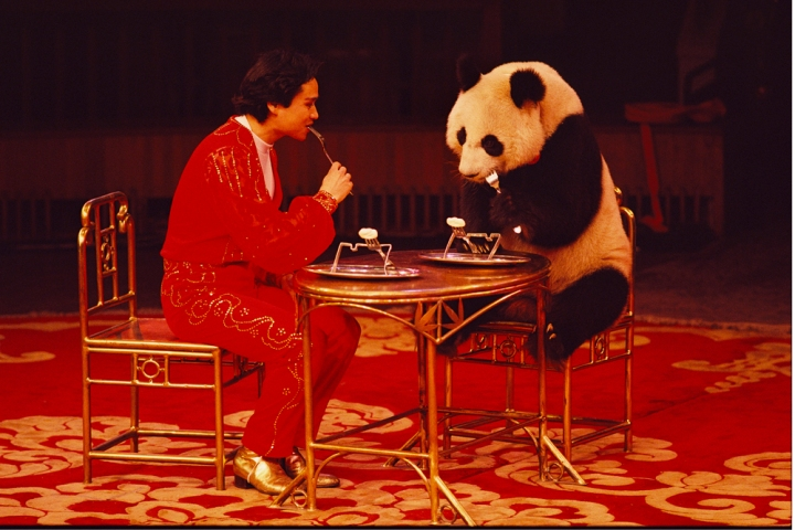 This giant panda performs as part of a Chinese circus. Photograph by Jodi Cobb, National Geographic