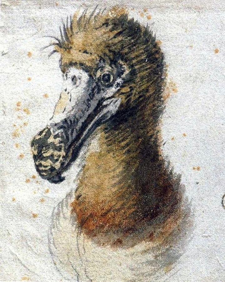The dodo never looked more dignified than in it does in this gorgeous watercolor by the Dutch Old Master Cornelis Saftleven. The painting was completed in 1638, just 24 years before the species was driven to extinction. This is probably the last illustration of a dodo drawn from life. Painting by Cornelis Saftleven, courtesy the Boijmans Museum and Wikimedia. Public domain.