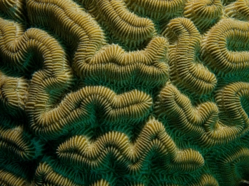 We love this image!! Like all corals, each brain coral is not a single organism, but an entire colony of tiny animals. Photograph by Nick Hobgood, courtesy Wikimedia. CC-BY-SA-3.0