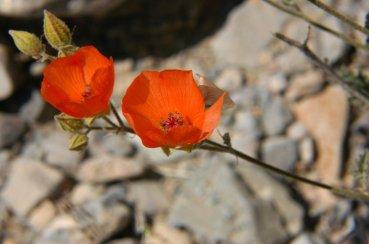 Desert Globemallow. Photo by Jim Staley, courtesy Flickr. CC BY-SA 2.0