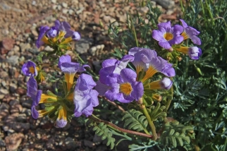 Fremont Phacelia. Photo by Death Valley National Park