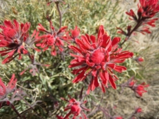 Indian Paintbrush.Photo by redteam, courtesy Flickr. CC BY-NC-ND 2.0