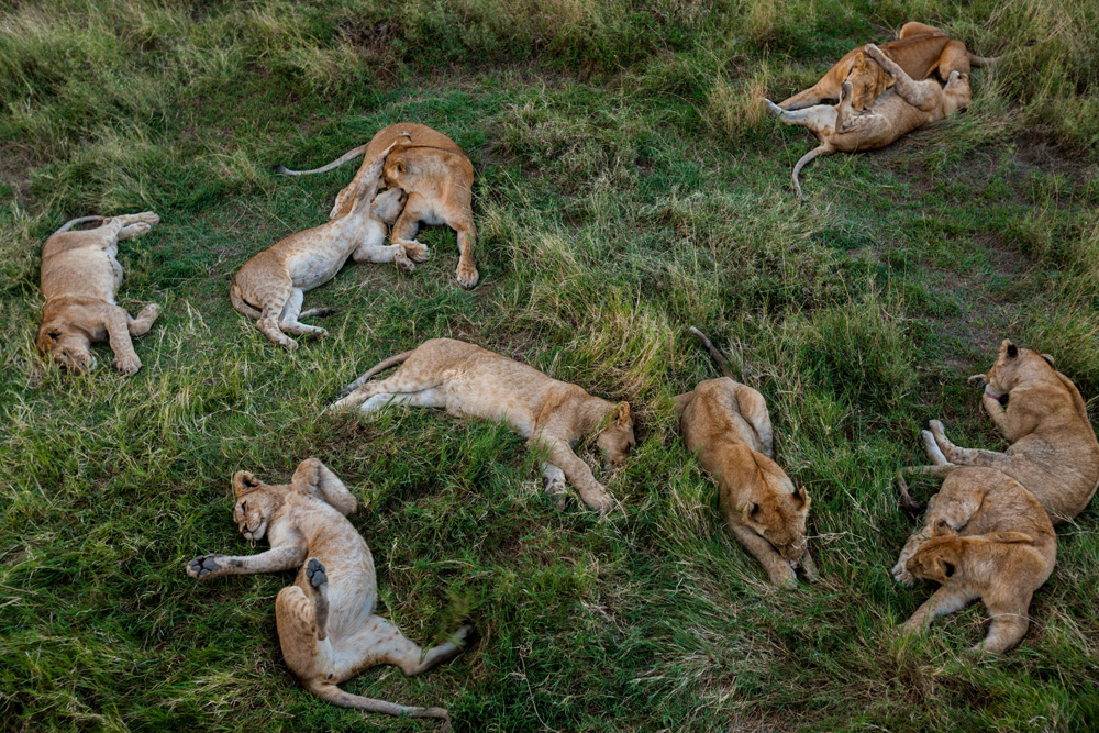 Image of: Rare Pride Of Lion Cubs Takes Break In Serengeti National Park Tanzania Photograph National Geographic Education Blog What Does The Endangered Species Listing Mean For Lions National