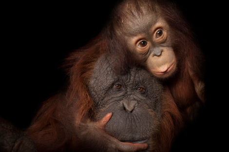 An endangered baby Bornean orangutan, Pongo pygmaeus, named Aurora, with her adoptive mother, Cheyenne, a Bornean/Sumatran cross, Pongo pygmaeus x abelii, at the Houston Zoo. Photo by Joel Sartore.