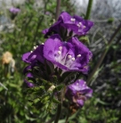 Phacelia. Photo by mikeccross, courtesy Flickr. CC BY-NC-ND 2.0