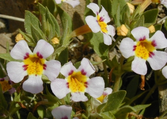 Rock Mimulus. Photo by Death Valley National Park