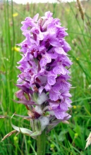 This southern marsh orchid is blooming on a golf course in Harlech, Wales. Photograph by Natalie S., courtesy Wikimedia. CC-BY-SA-4.0