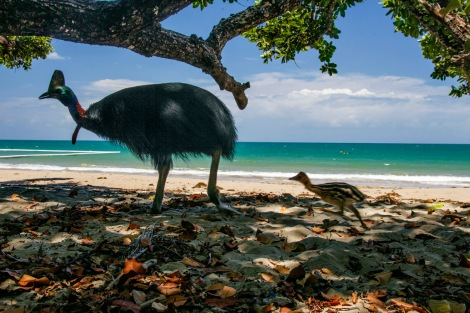 MM7817 Southern Cassowary male cassowary with chick (3-4 weeks) walking along beach