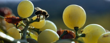 A bee sucks the juice of a grape from a cluster. Photo by James L. Stanfield, National Geographic