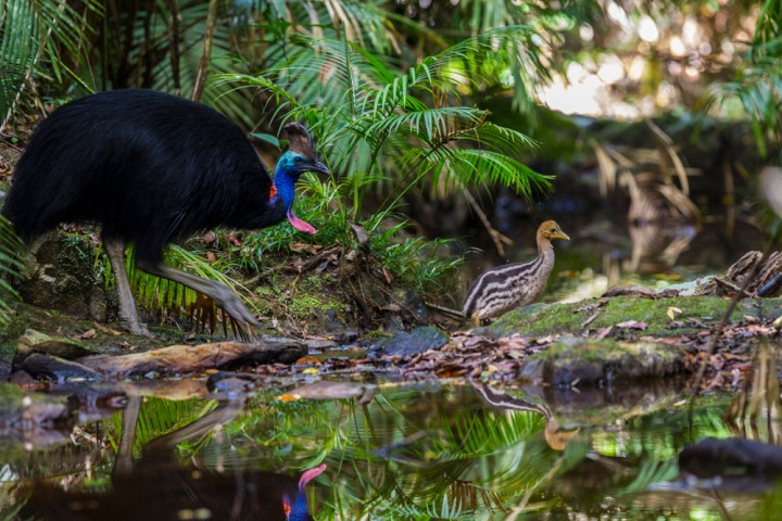 Southern cassowaries like this father and chick are endemic to the island of New Guinea and coastal areas of Australia's Cape York Peninsula. Like most flightless island birds, cassowaries have powerful legs and feet. Photograph by Christian Ziegler, National Geographic