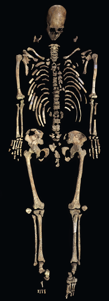 The exceptionally well-preserved skeleton of Kennewick Man is represented by nearly 300 bones and bone fragments. Photo by Chip Clark, Smithsonian Institution