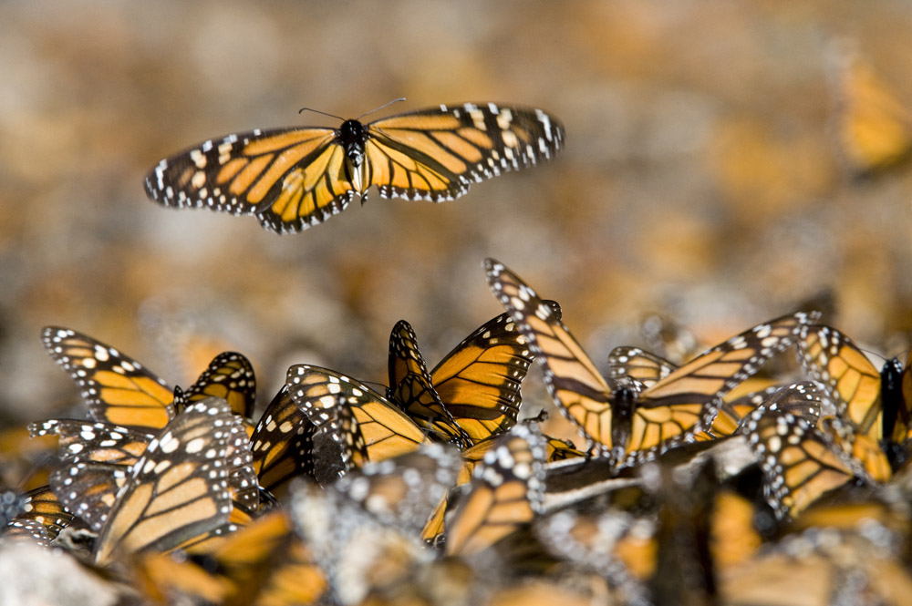Scientists Crack Mystery of Monarch Navigation | Nat Geo ...