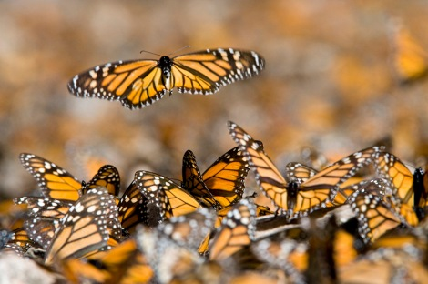 Beautiful monarch butterflies migrate up to 4,000 kilometers (2,485 miles)—from the U.S. and Canada to Mexico—every year. Photograph by Joel Sartore, National Geographic