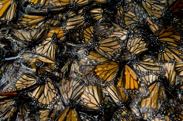 On closer inspection still, the monarchs look like stained glass—but are much more delicate. Photograph by Joel Sartore, National Geographic