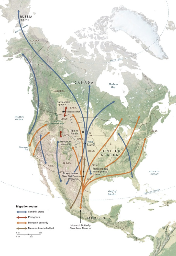 Monarchs are the only insect known to make this type of journey, a migration comparable to North American animals such as pronghorns, bats, and cranes. Map by William McNulty, National Geographic