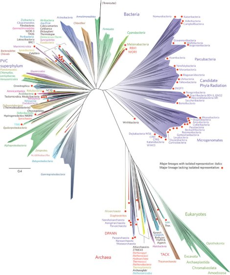 """The tree includes 92 named bacterial phyla, 26 archaeal phyla and all five of the Eukaryotic supergroups. (We animals are in the opisthokonta supergroup. Us and the fungi.) Illustration by Credit Jill Banfield/UC Berkeley, Laura Hug/University of Waterloo, """"A new view of the tree of life,"""" Nature Microbiology Article number: 16048 (2016)"""