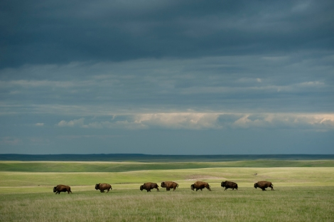 Isn't this breathtaking? Classic Nat Geo photography by classic Nat Geo photographer Joel Sartore, courtesy the gorgeous landscape of South Dakota and a friendly herd of Bison bison—the bovid so nice they named it twice.