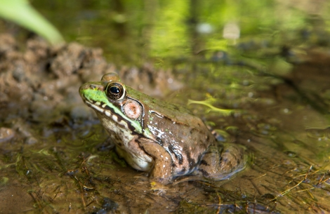 Green frogs are some of the most common amphibians around. This gorgeous specimen was spotted on national park land near the Anacostia River. Photograph by Krista Schlyer, National Geographic
