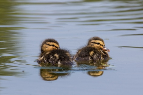 News alert: Ducklings (at Constitution Gardens) are cute. Photograph by Gabby Salazar, National Geographic