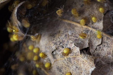 These juvenile spiders in Rock Creek Park are just about ready to take off. Photograph by Gabby Salazar, National Geographic