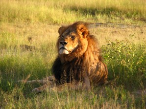Cecil the lion, killed by an American hunter last year, was probably Zimbabwe's most famous feline. If the drought continues, Zimbabwe's national parks may be forced to cull 200 lions. Photograph by Daughter#3, courtesy Wikimedia. CC-BY-SA-2.0