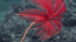 This beautiful creature is a stalked crinoid, also known as a sea lily. Crinoids are echinoderms, the same family as sea stars. Image courtesy of the NOAA Office of Ocean Exploration and Research, 2016 Deepwater Exploration of the Marianas